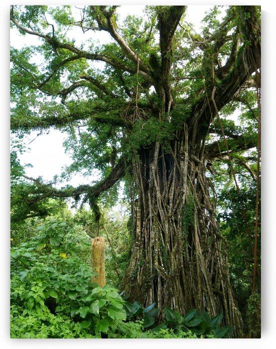 Fig Tree by On da Raks