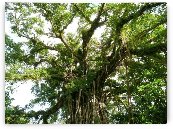 Fig Tree Close Up by On da Raks