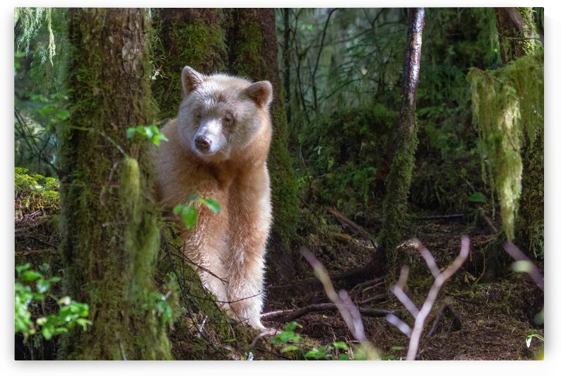 Spirit Bear Maa 2 by Kevin Barrett