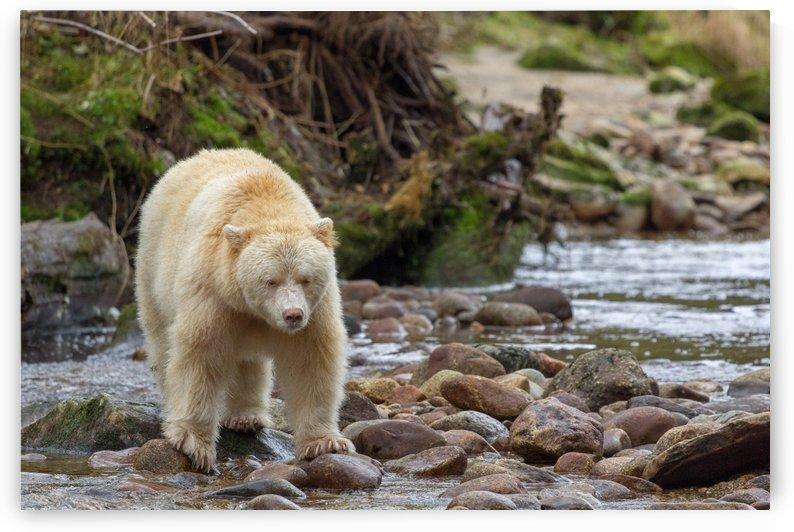 Boss in the Great Bear Rainforest by Kevin Barrett
