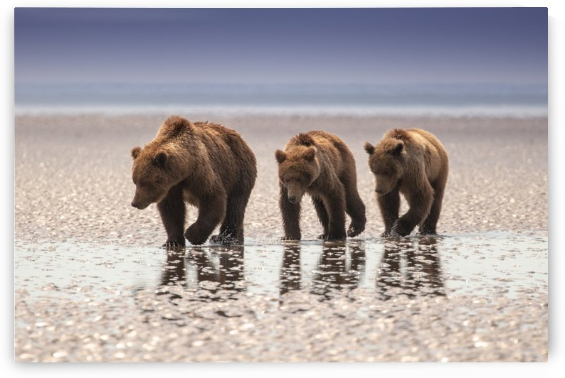 Brown Bear family on the flats by Kevin Barrett