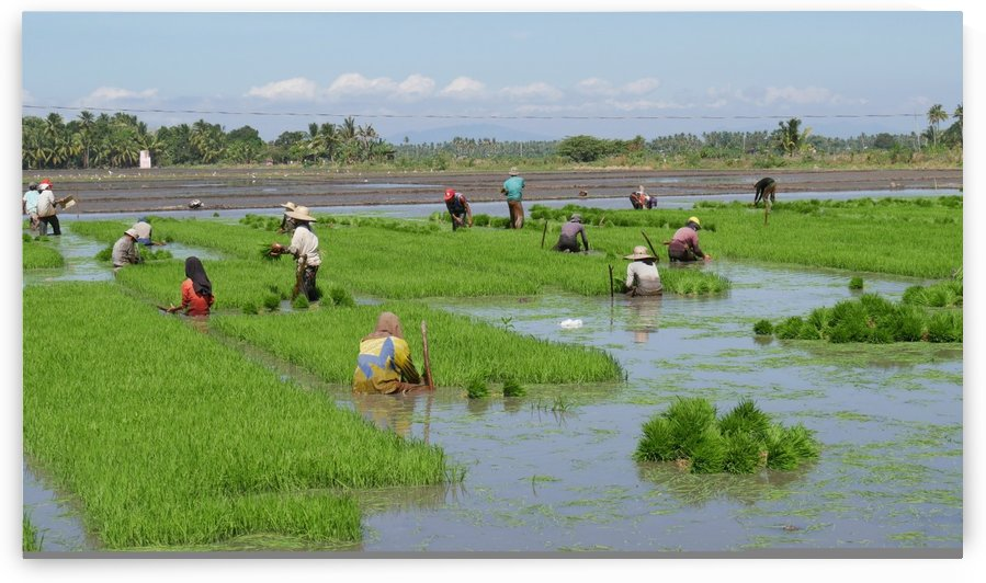 Rice Planting Philippines by Raksy