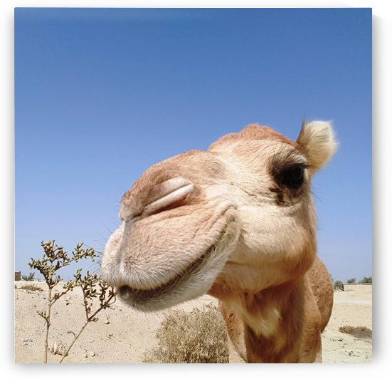 Qeshm   Camel 3 by Locspics