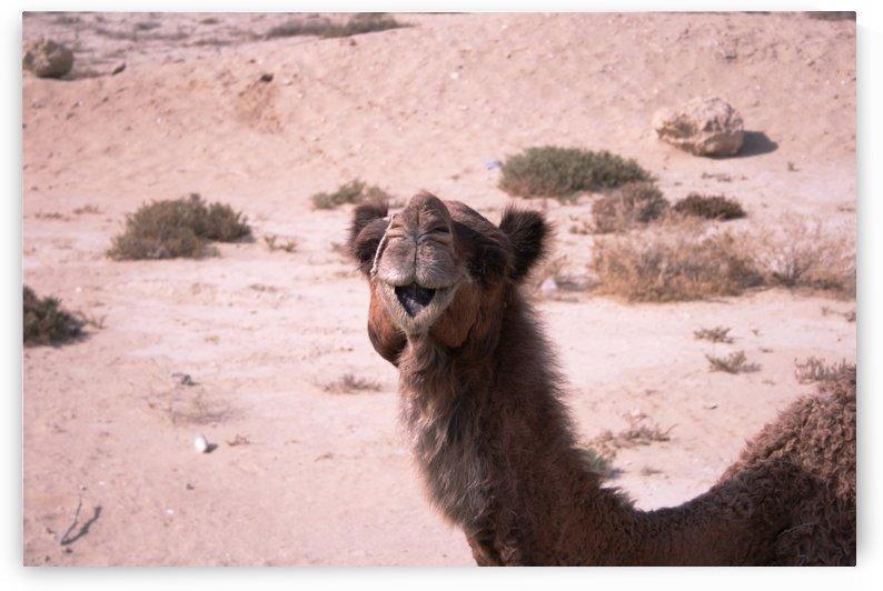 Qeshm   Camel 1 by Locspics