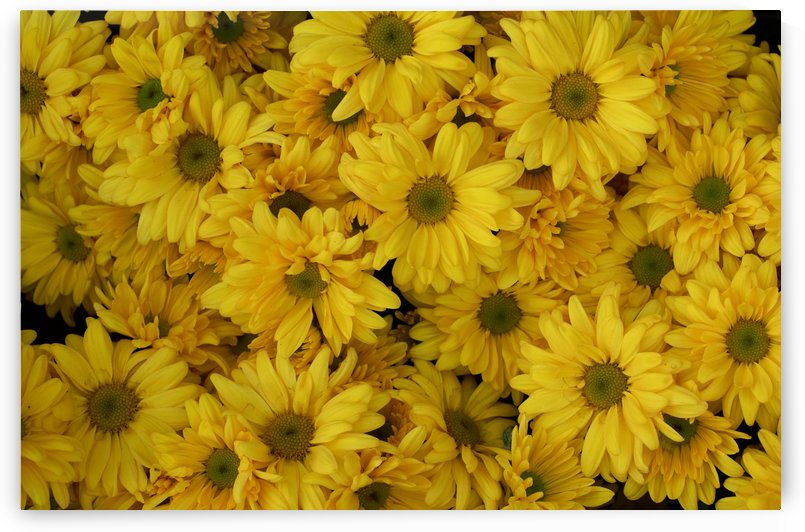 Background of yellow chrysanthemum flowers in bloom by Krit of Studio OMG