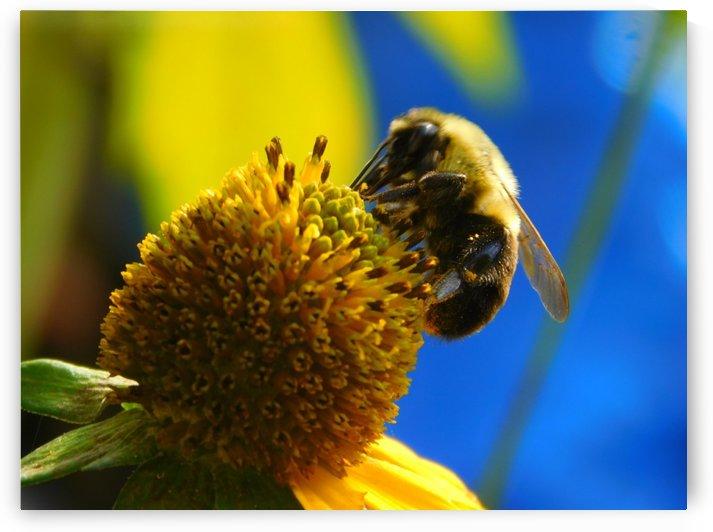 Bumblebee on Sunflower  by Debbie Caughey
