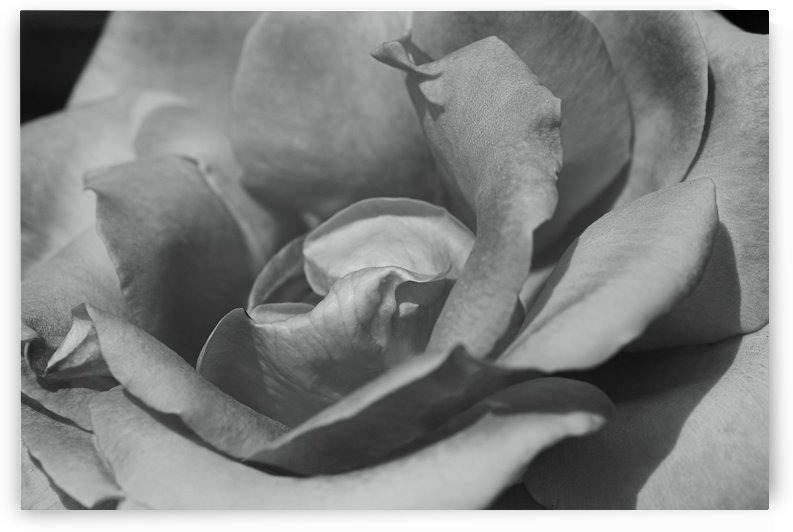 Rose In Black And White by Joy Watson