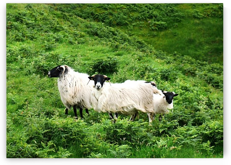 Sheep Of Malin Beg - County Donegal by Lexa Harpell