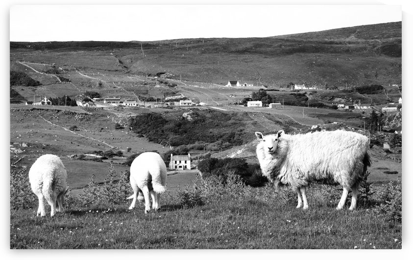 Sheep of Glencolmcille in BW by Lexa Harpell