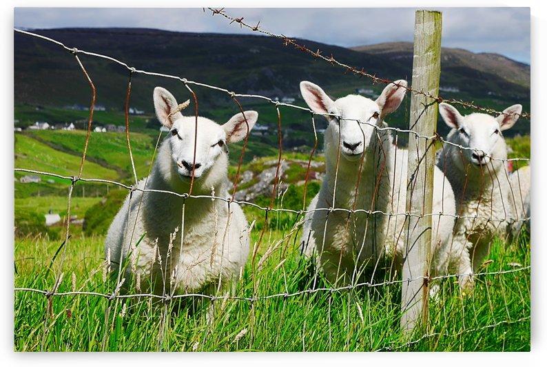 Curious Little Irish Sheep by Lexa Harpell