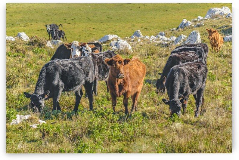 Cows at Countryside, Maldonado Department, Uruguay by Daniel Ferreia Leites Ciccarino