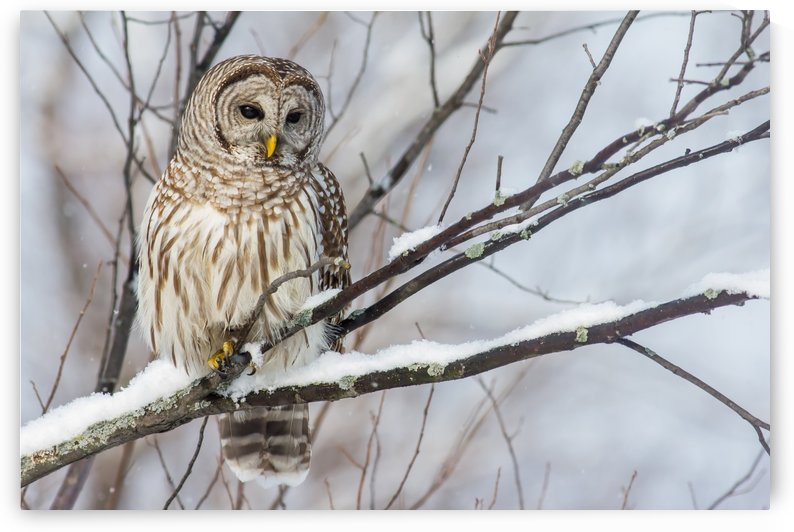 Barred Owl on a Snowy Branch by Michel Soucy
