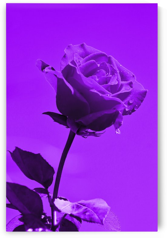 Love Rose purple 8665 by Thula-Photography