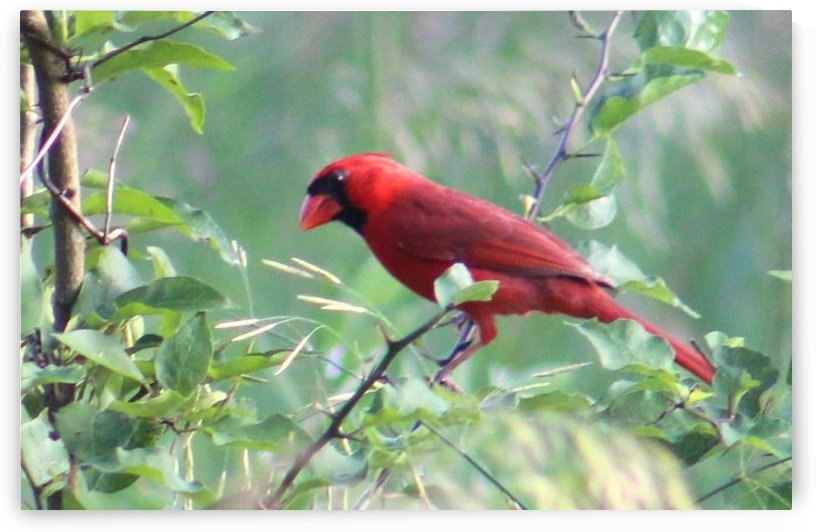 KC Cardinal by Natures Alchemy Captured