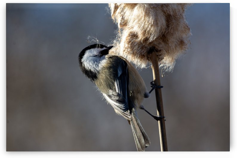 Chickadee and Cattail by Chris Couling