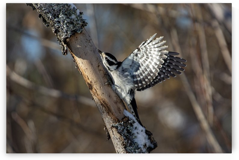 Downy on a Branch II by Chris Couling