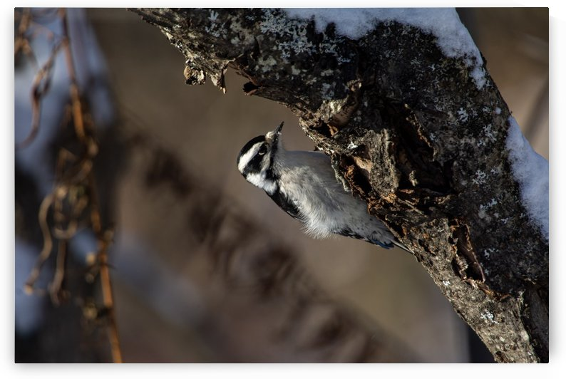 Downy on a Branch by Chris Couling