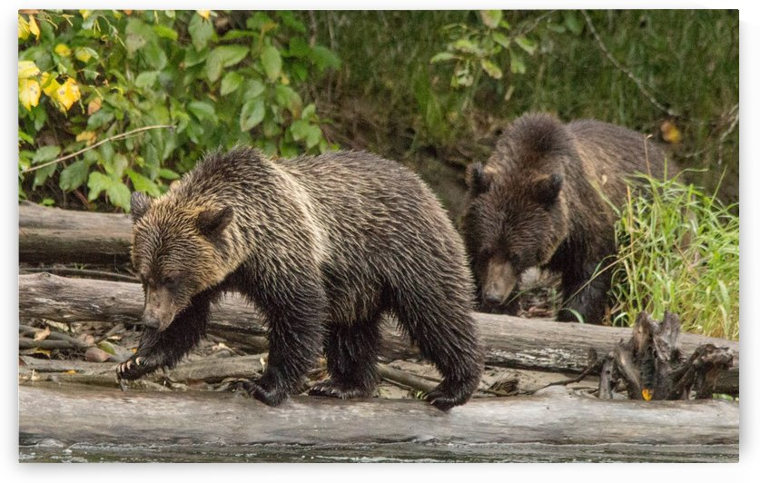 Bear on a log by Duncan Jacob