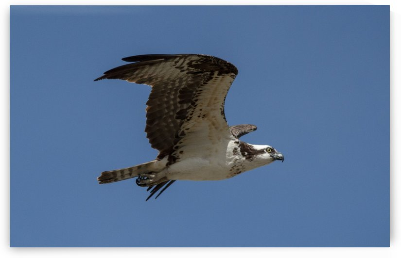 Osprey on the prowel by Duncan Jacob