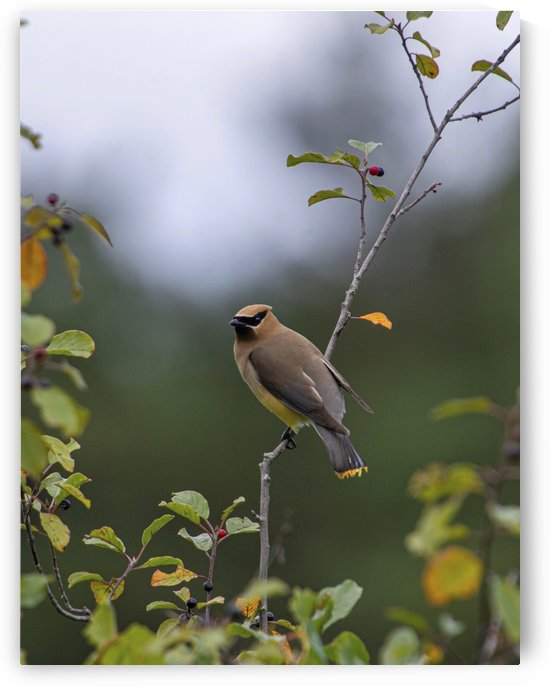 The Waxwing by Chris Couling