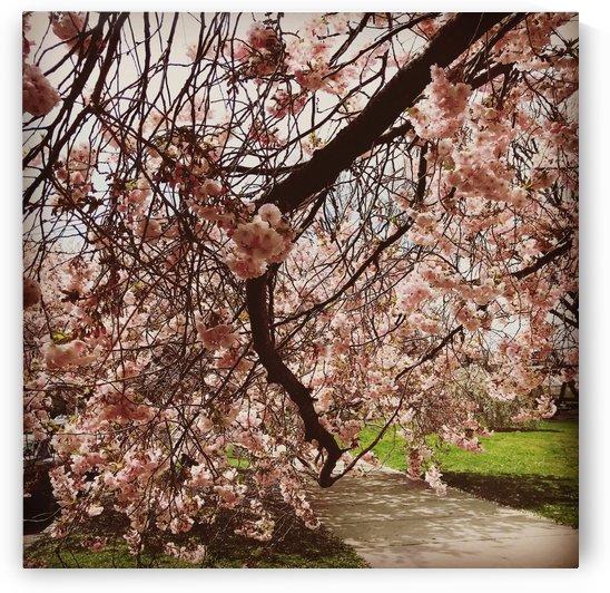 Cherry blossom tree by  Jade Renteria