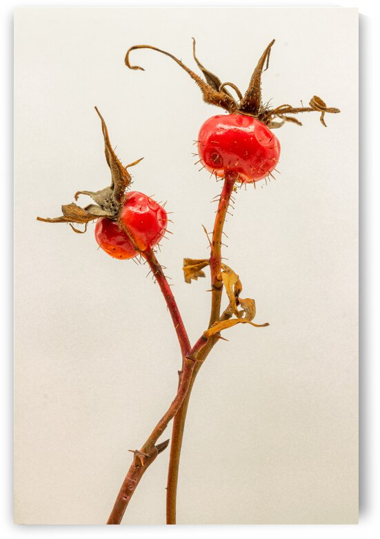 Two Wild Rose Hips by Joe Riederer