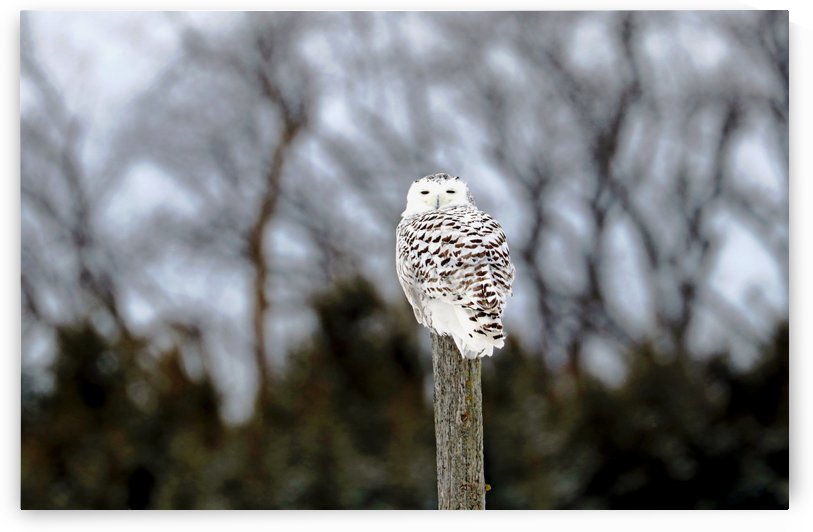 Snowy Owl On Fence Post by Deb Oppermann