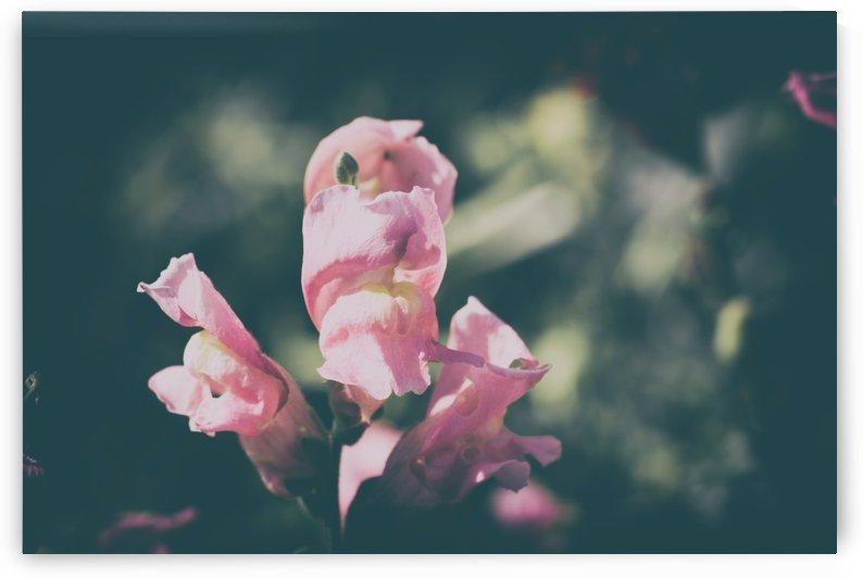 Lupinus Luteus Pink by Ira Silence