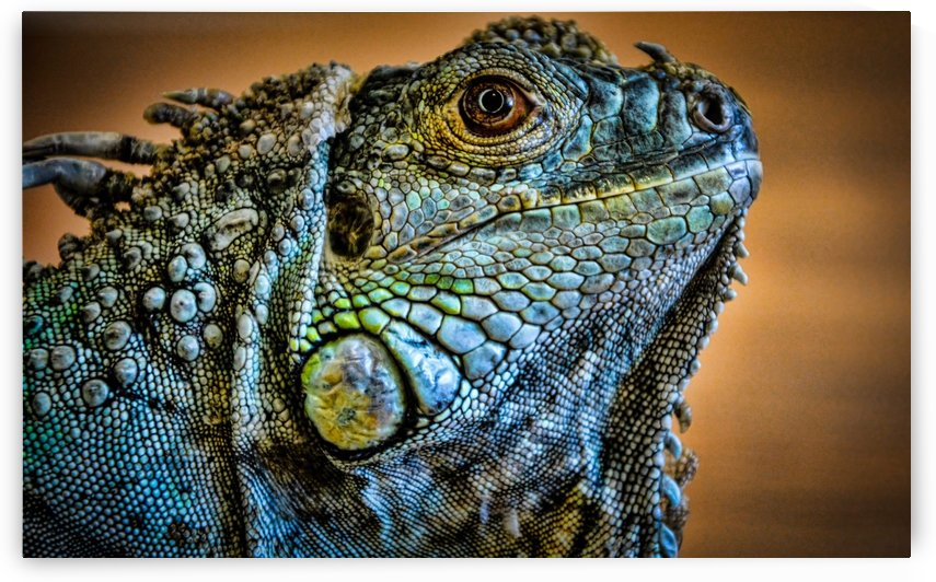 Iguana by Robert Knight