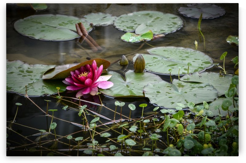 Water Lily by Robert Knight