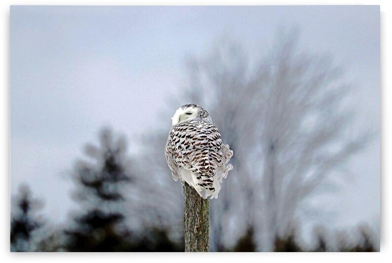 Snowy Owl Sideways Glance by Deb Oppermann