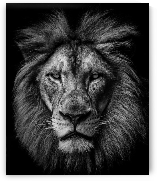 A Lion in Black & White by Julian Starks Photography