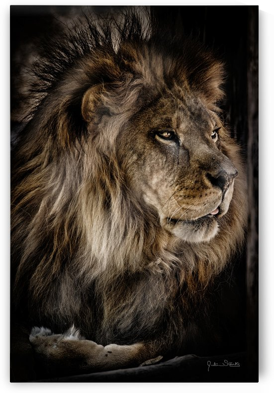 A Lions Profile by Julian Starks Photography