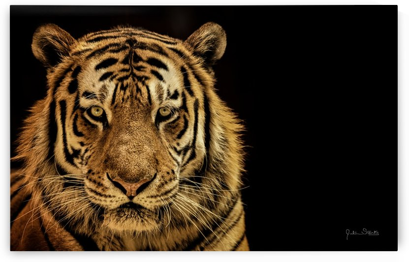 Massive Siberian Amur Tiger  by Julian Starks Photography