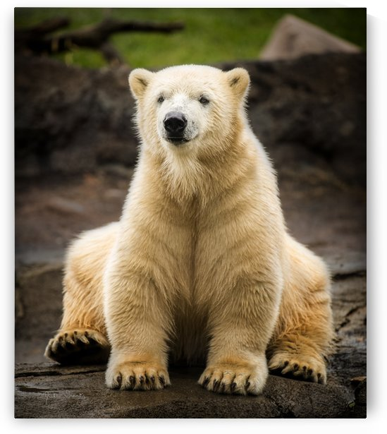 Polar Bear Cub by Julian Starks Photography