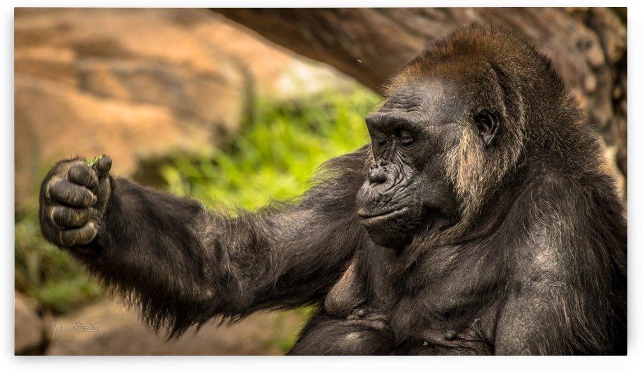 Quiet Gorilla Sleeping by Julian Starks Photography