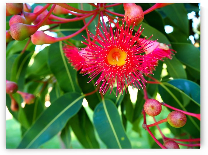 Australian Red Flowering Gum by Michaela Scherr