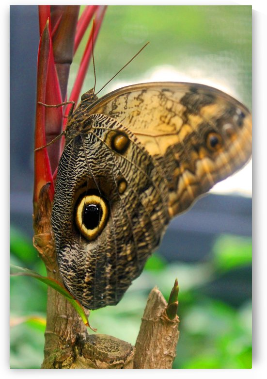 Owl Butterfly by Gods Eye Candy