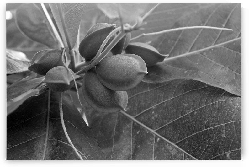 Natural Almonds B&W by Gods Eye Candy