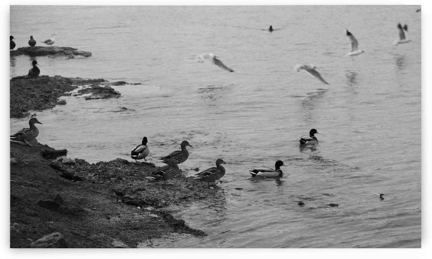 Ducks by Ross Simpson