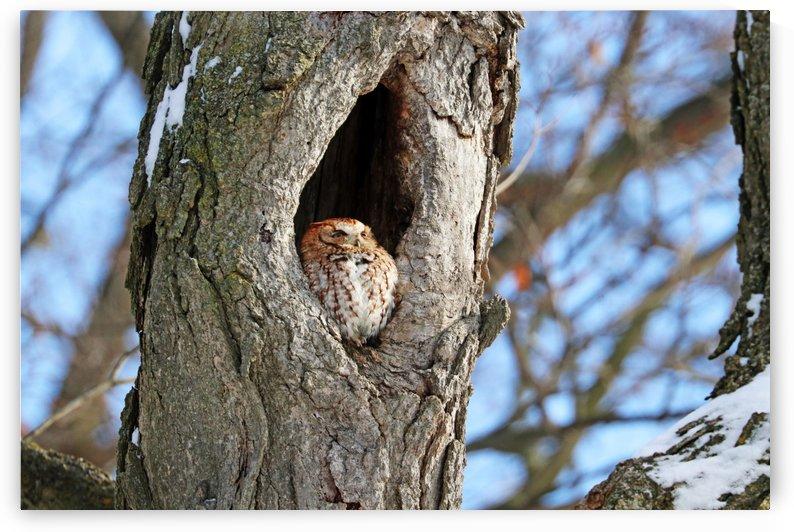Eastern Screech Owl Red Morph by Deb Oppermann