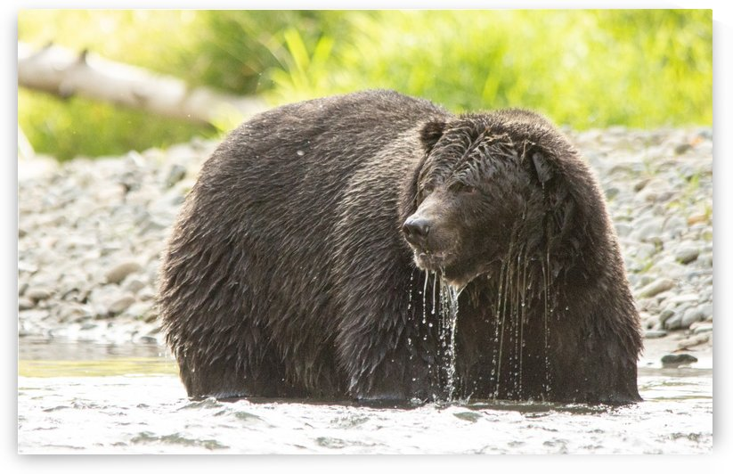 Very Wet Grizzily by Duncan Jacob