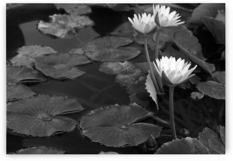 Water Lilies B&W by Gods Eye Candy
