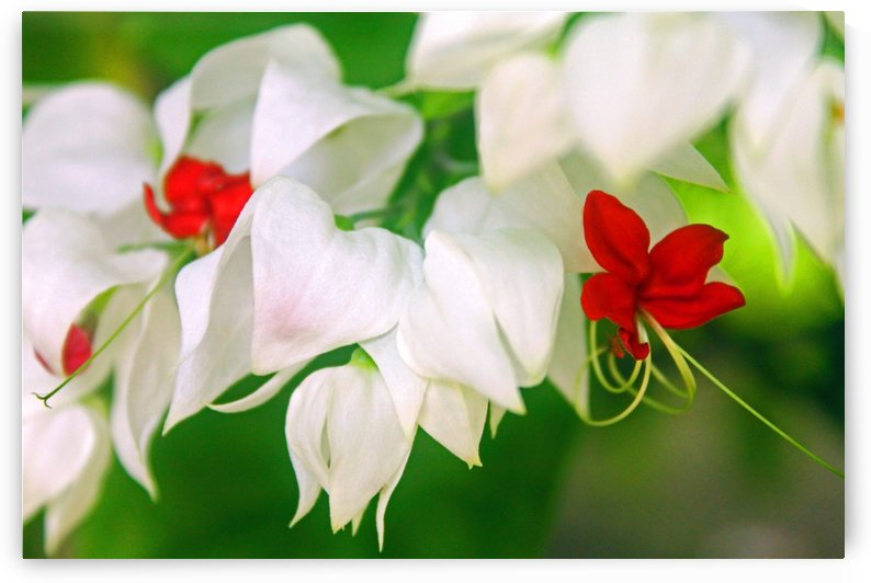 A little White and Red by Gods Eye Candy
