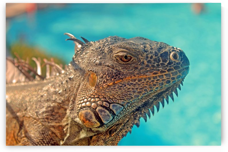 Spiny-Tailed Iguana by Gods Eye Candy