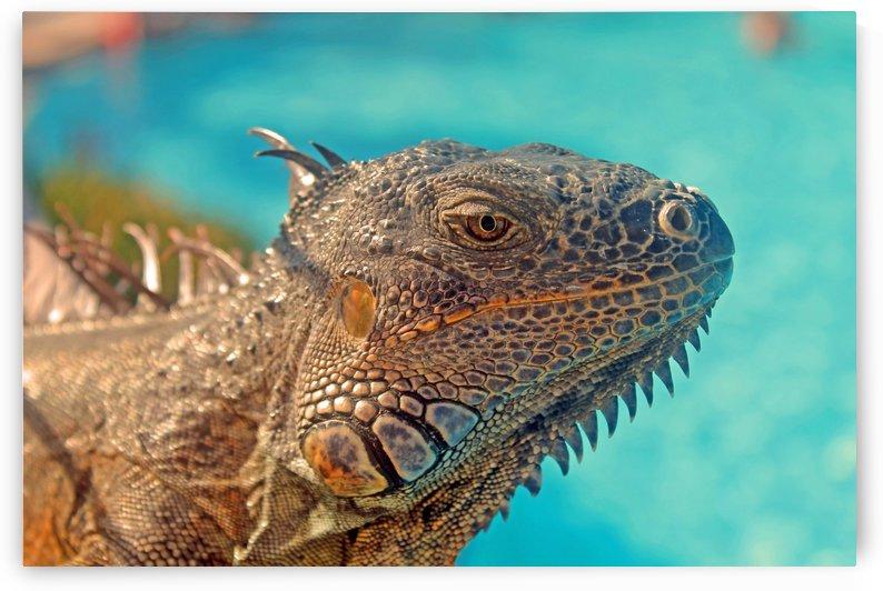 Spiny-Tailed Iguana by Gods Eye Candy