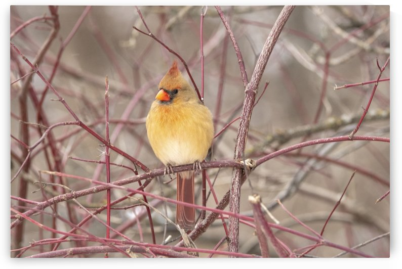 Female Cardinal On Pussy Willow by Sean Mahedy