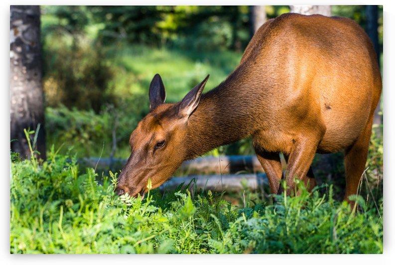 Baby Elk by Aurelio Matthew Leal