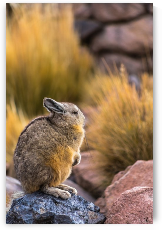 Viscacha by Jackson Brown