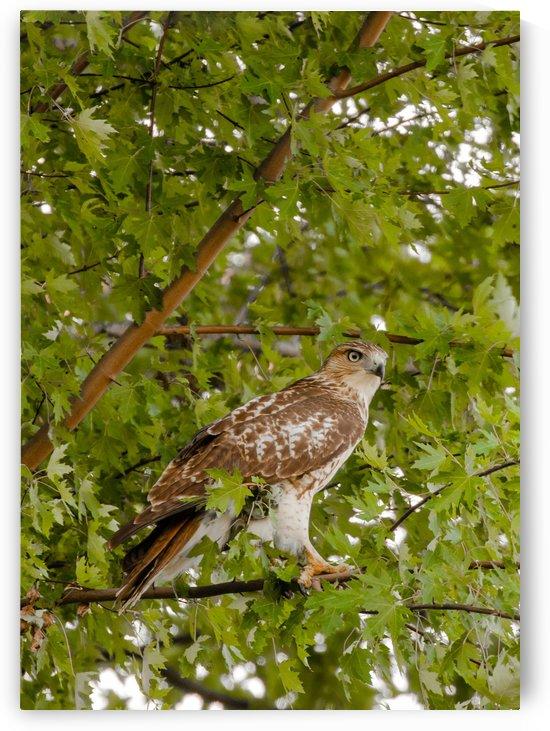 Red-tailed Hawk in Maple by Joe Riederer
